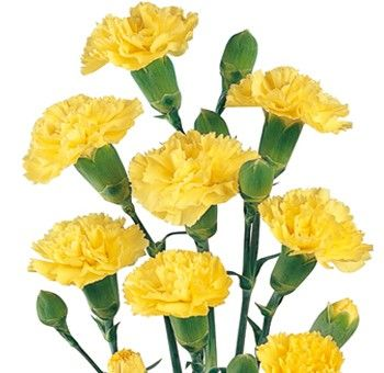 Bella S Mini Carnation Yellow Flowers Are Some Of The Most Long Lasting Whole Flowers Available Their Name Carnation Flower Mini Carnations Yellow Carnations