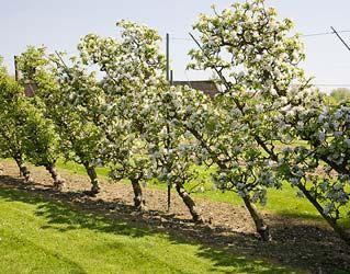 Oblique Cordon Espaliers Woodbridge Fruit Trees Fruit Trees