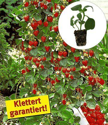 Kletter Erdbeeren Elan F1 Wuchshohe Bis 150 Cm Standort Sonne