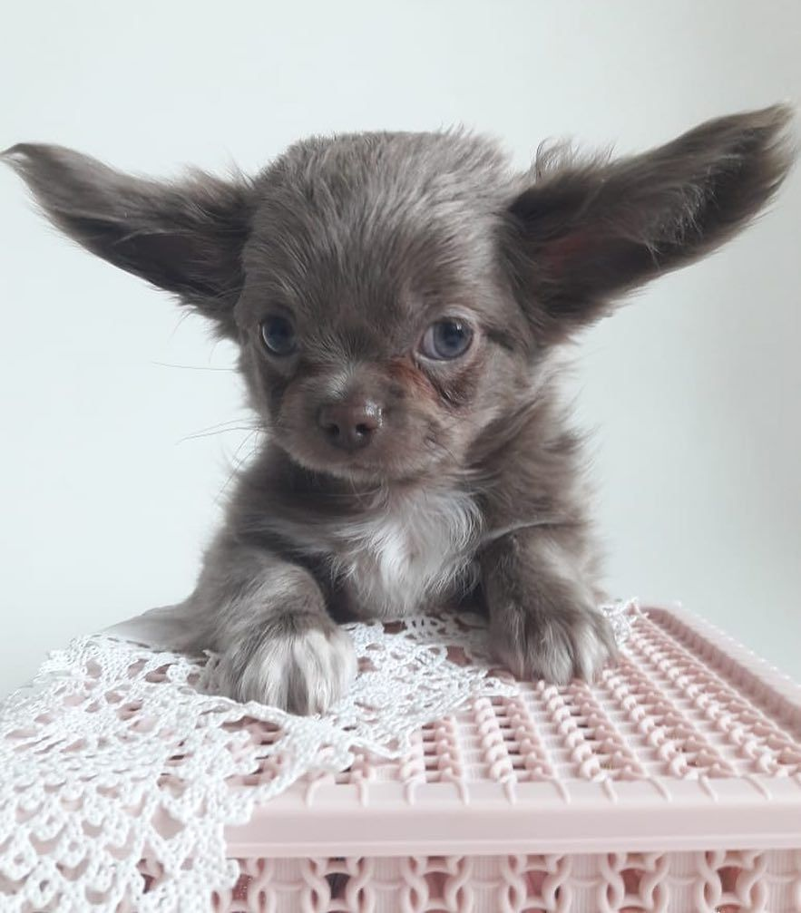 Sold Lilac Boy Chihuahua Rare Color Long Hair Very Cute Boy Short Nose Rare Color Full Vaccinated Ready Baby Animals Cute Baby Animals Animals