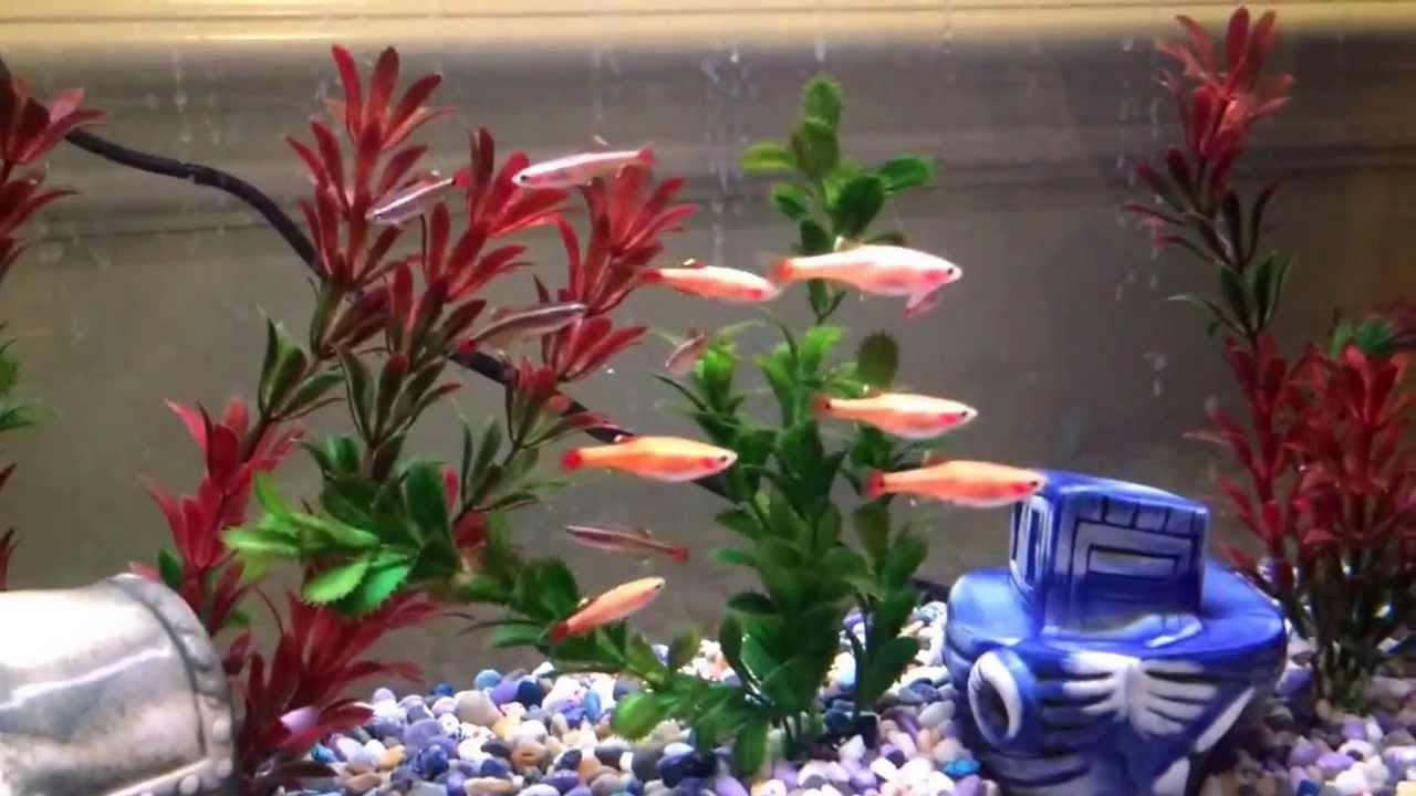 White Cloud Mountain Minnows And Gold Fish Cold Water Tank Fresh Water Fish Tank Water Tank Goldfish