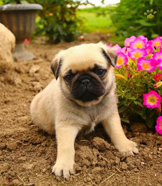 Oliver Pug Puppy for Sale in Belle Center, OH