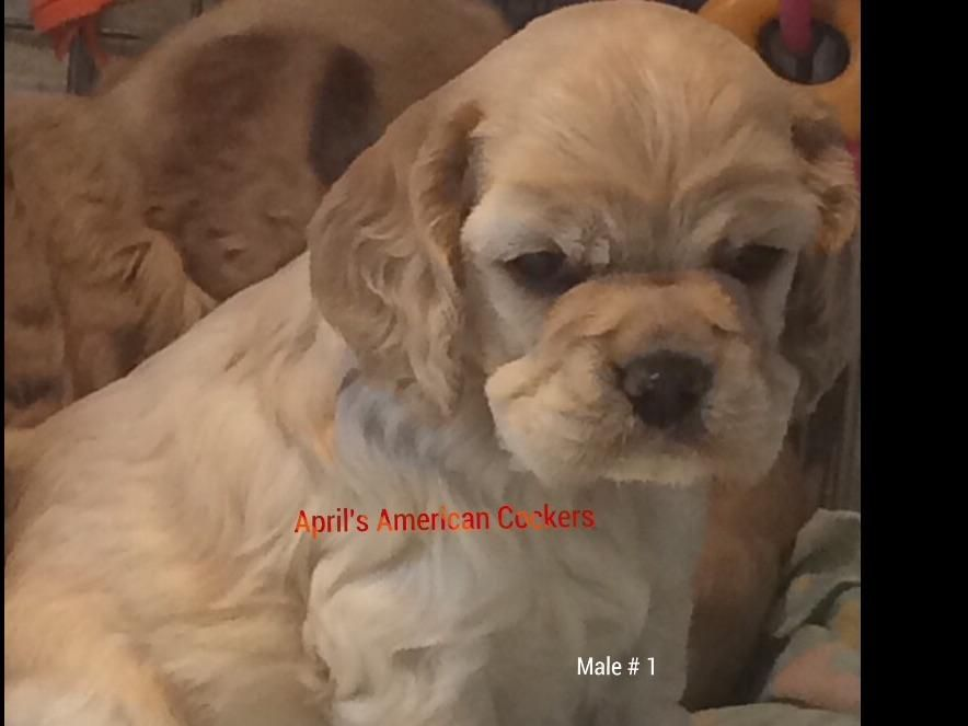 Hello My Name Is April I Breed Akc American Cocker Spaniel Here In