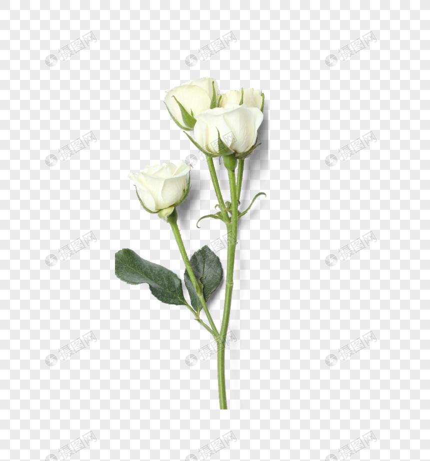 White Rose White Rose White Rose Single White Rose White Tea Hybrid Rose Flowers Plants White Roses White Rose Png Template Design
