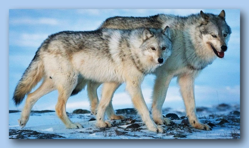 Wolves Roam The Arctic Tundra Near The Meadowbank Gold Mine