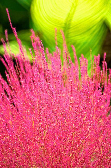 Kochia by shinichiro*, via Flickr