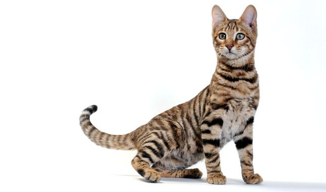 Everything You Want To Know About Toyger Cats Including Grooming