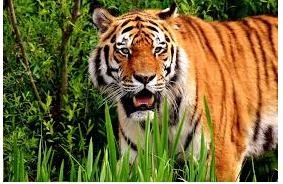 conclusion on tigers
