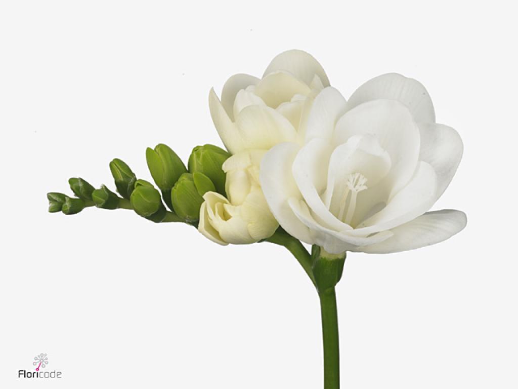 Buy Freesia Double Essence 50cm 16gr Petaldriven Com Wholesale Flowers Popular Flowers Flowers Online