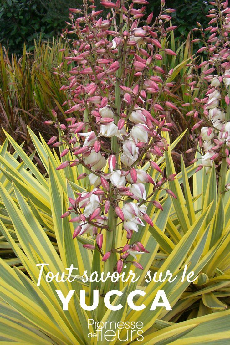yucca d 39 ext rieur choix plantation entretien en pot. Black Bedroom Furniture Sets. Home Design Ideas