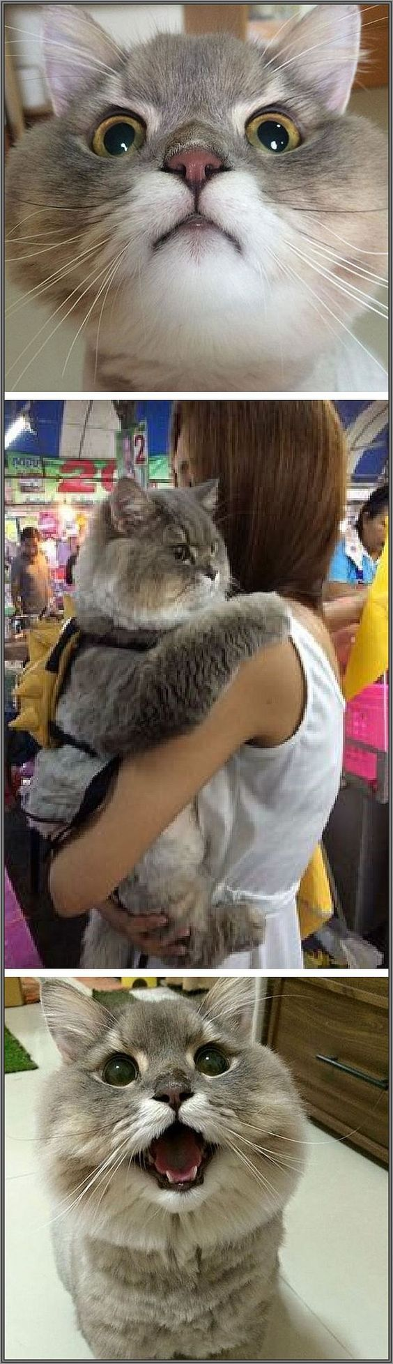 Meet Bone Bone, The Enormous Fluffy Cat From Thailand That