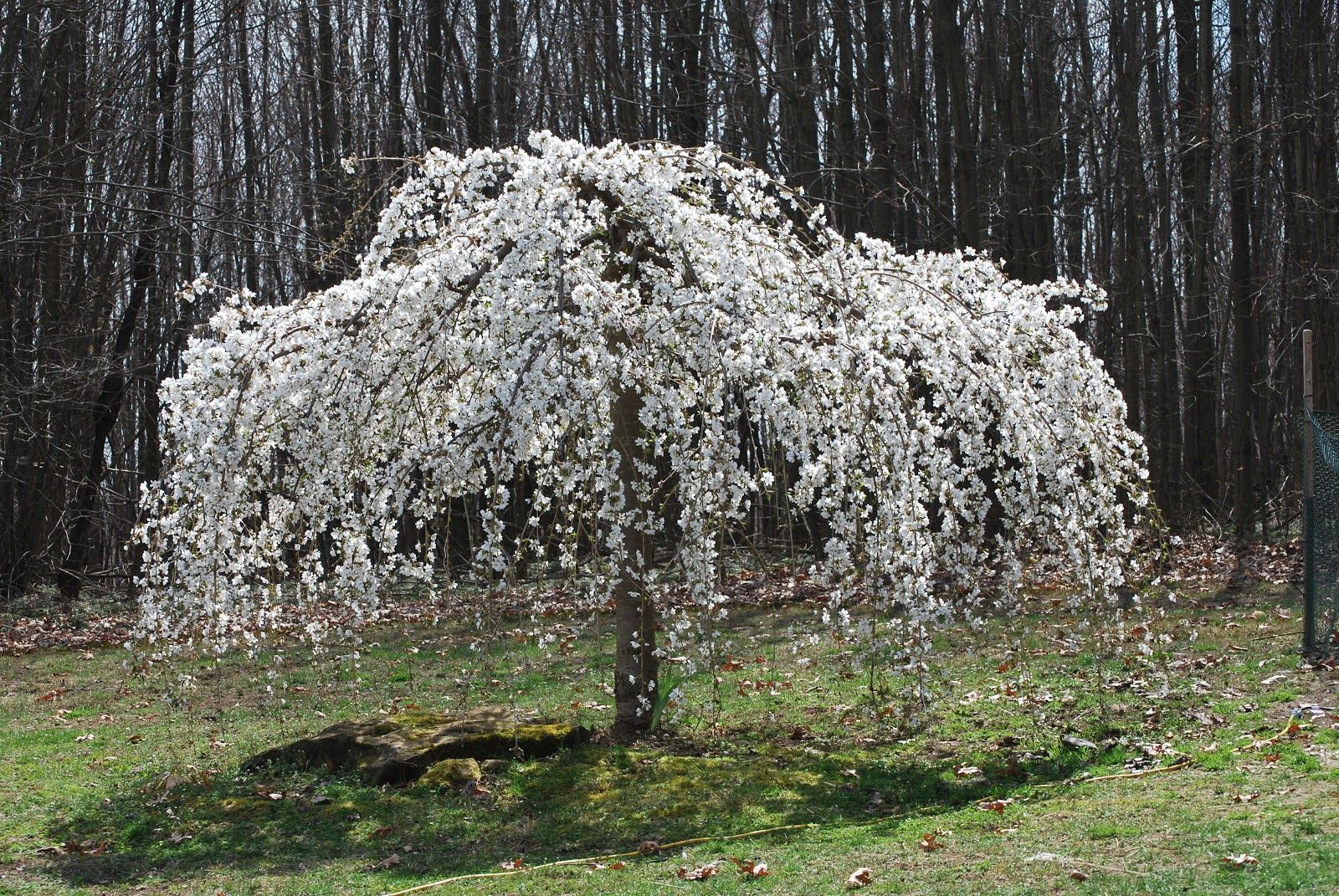 Caring For A White Weeping Cherry Tree Weeping Cherry Tree