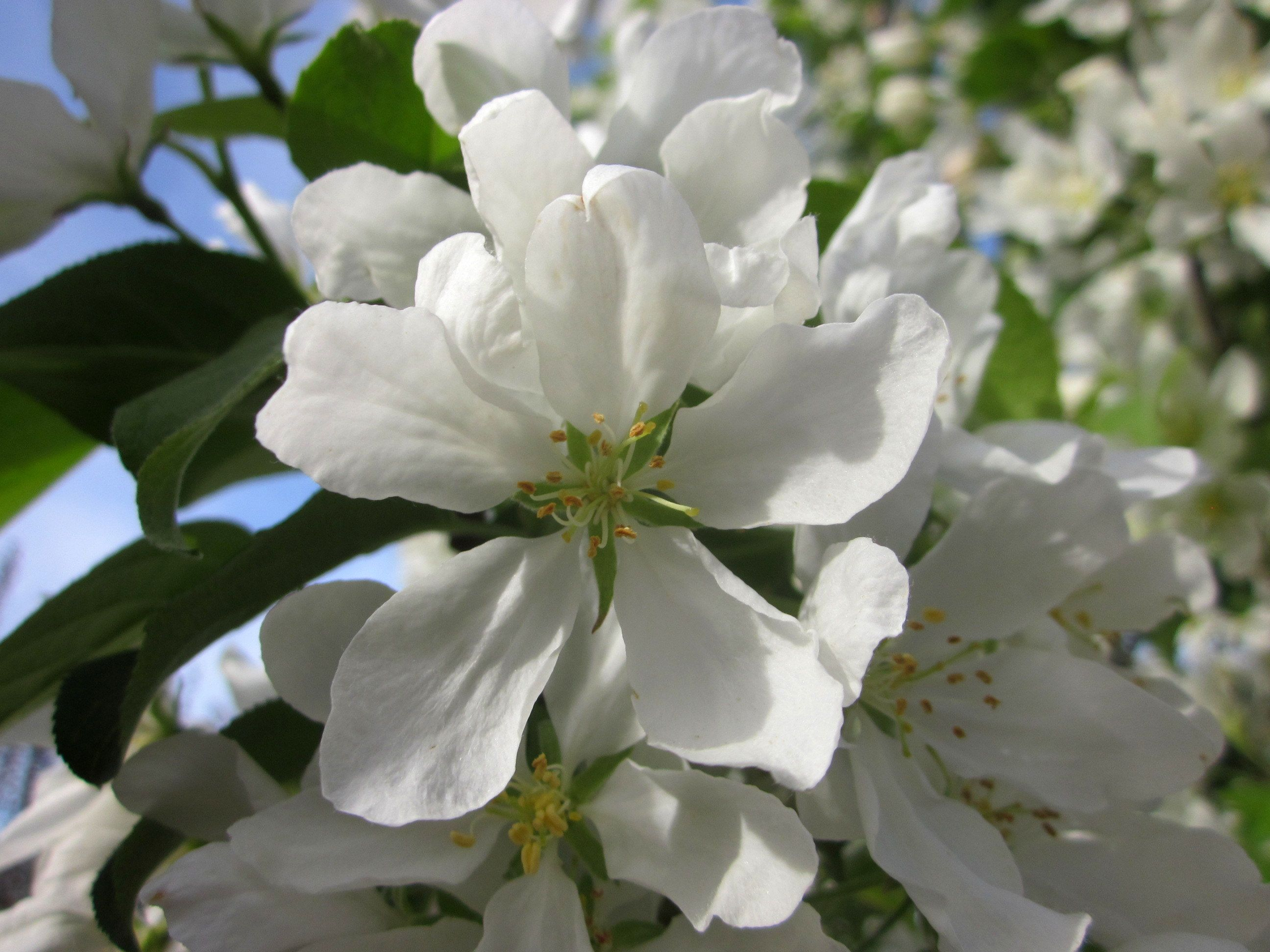 Malus Baccata Street Parade Known As Street Parade Crab Apple Is A