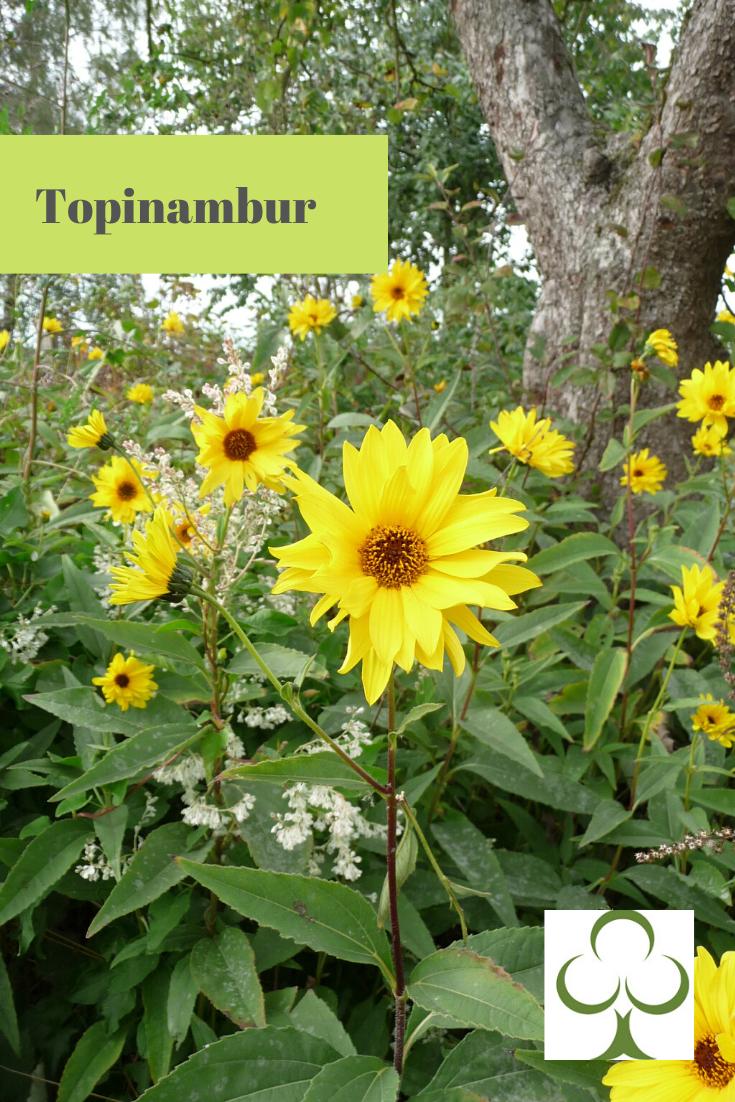 Herbstbluher Bepflanzung Pflanzen Topinambur