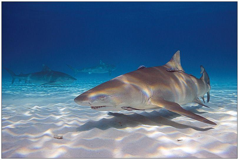 Zitronenhai Sharks, Lemon, Shark