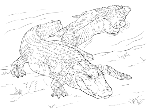 Two American Alligators Coloring Page From Alligators Category Select From 29511 Printable Coloring Pages Free Printable Coloring Pages Animal Coloring Pages
