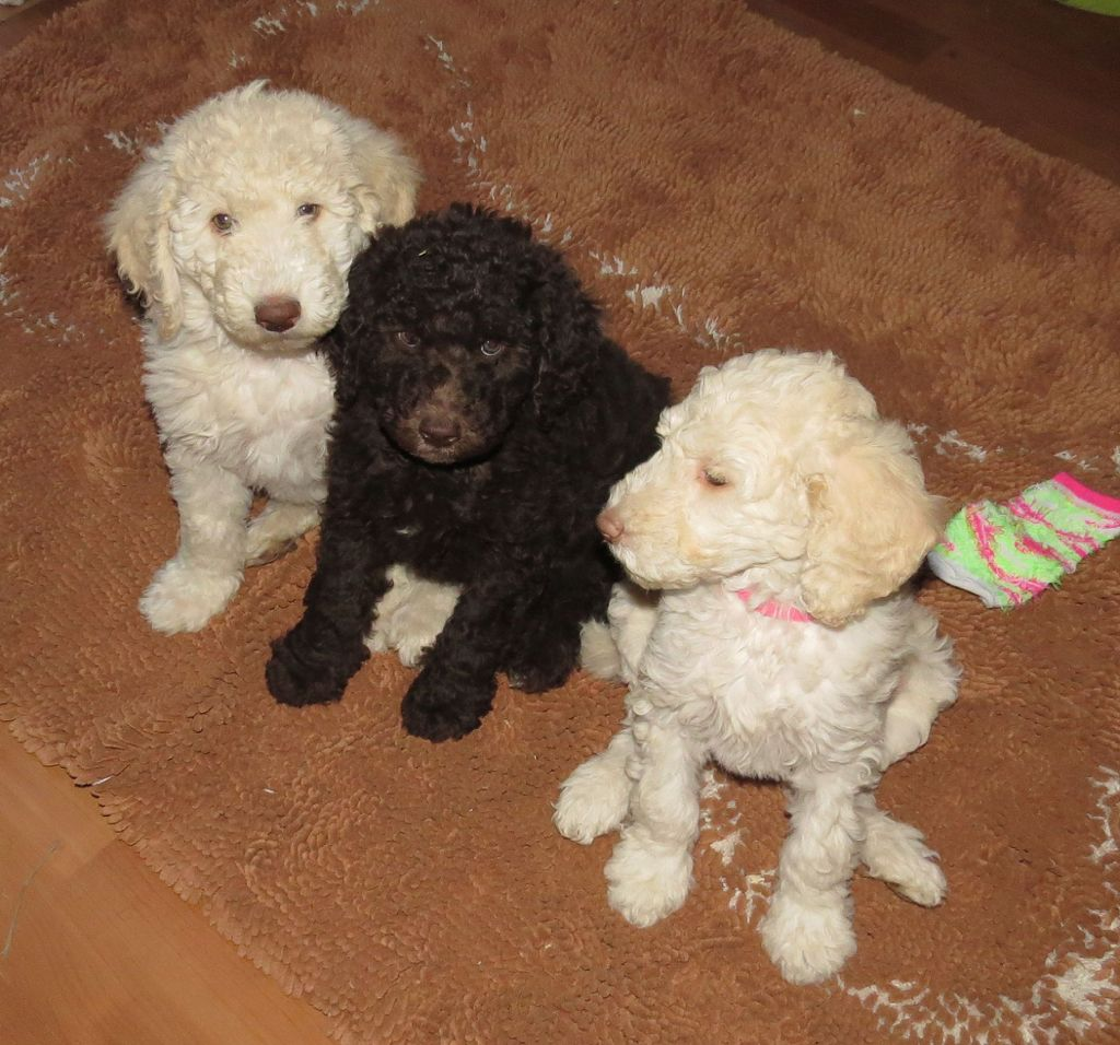 Labradoodle Puppies Aussiedoodle And Labradoodle Puppies