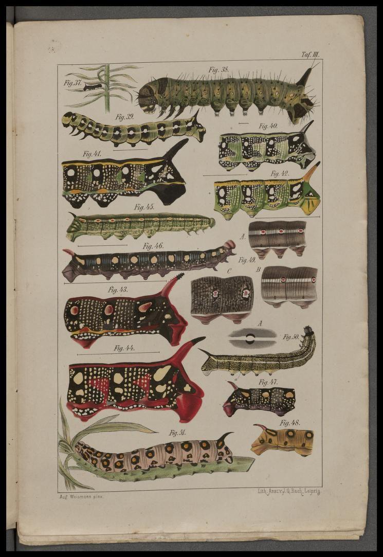 Caterpillars (v.2) from Studien zur Descendenztheorie, II. Uber die Letzen Ursachen der Transmutationen by W. Engelmann, Leipzig, 1876