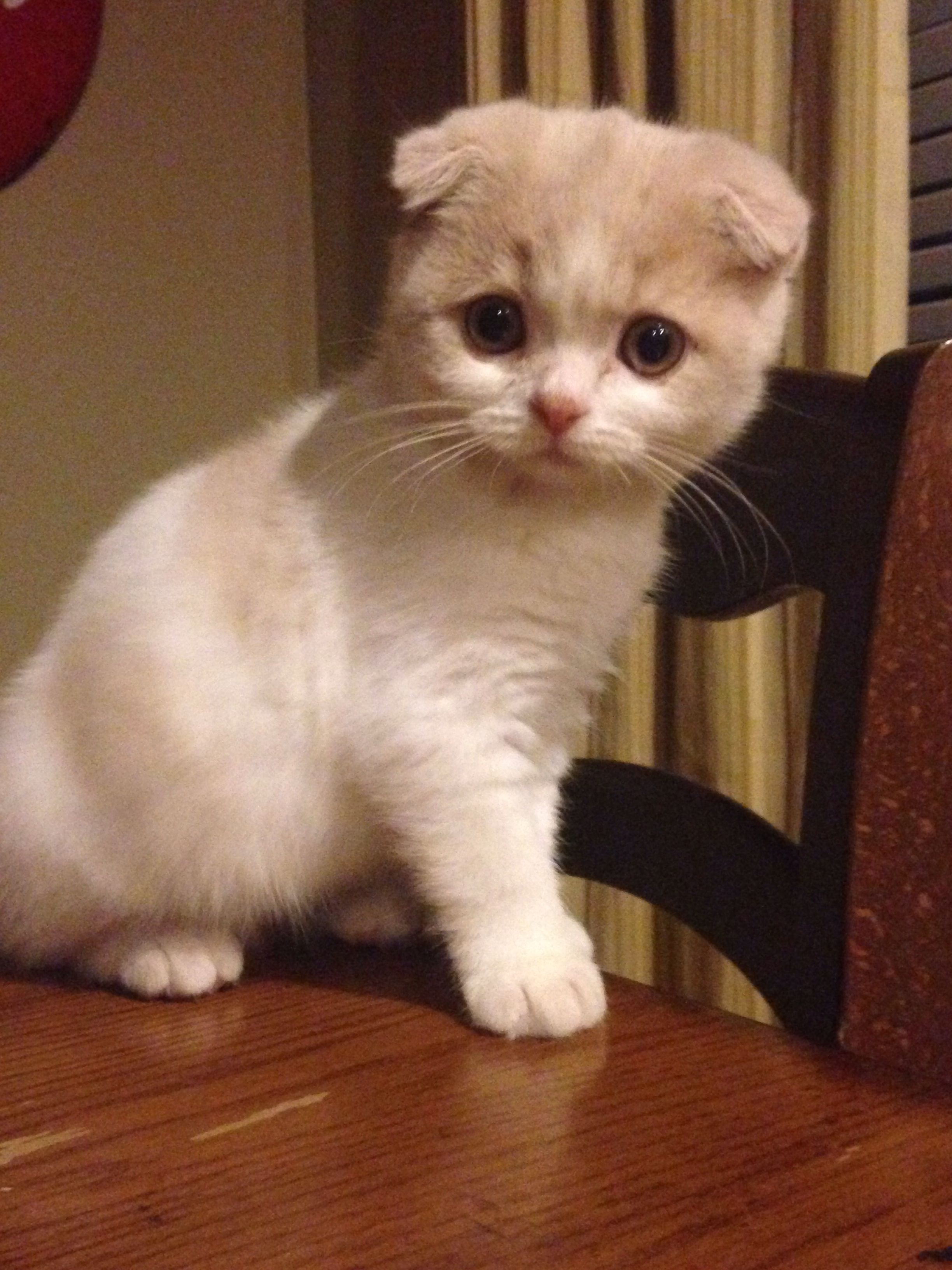 scottish fold kitten Scottish fold kittens, Munchkin cat