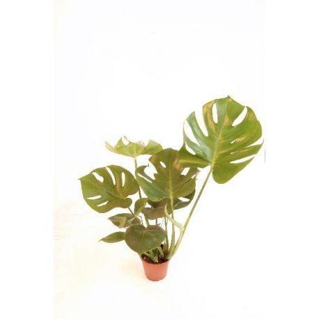 costilla de adan maceta diametro 13cm plantas