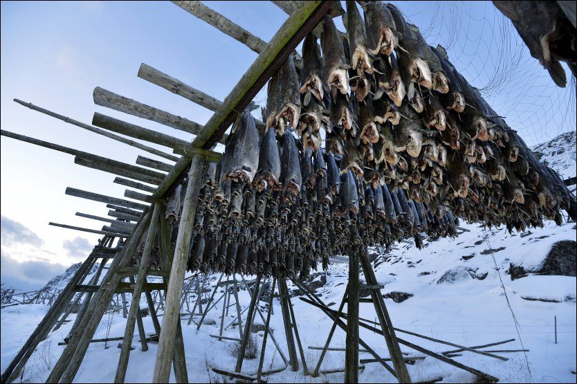 Foto: TERJE MORTENSEN Since the stone age, cod has been caught, salted and hung to dry in this fashion in the north of Norway. the dried cod is commonly sold to nations in southern Europe with climates too warm for this sort of curing.