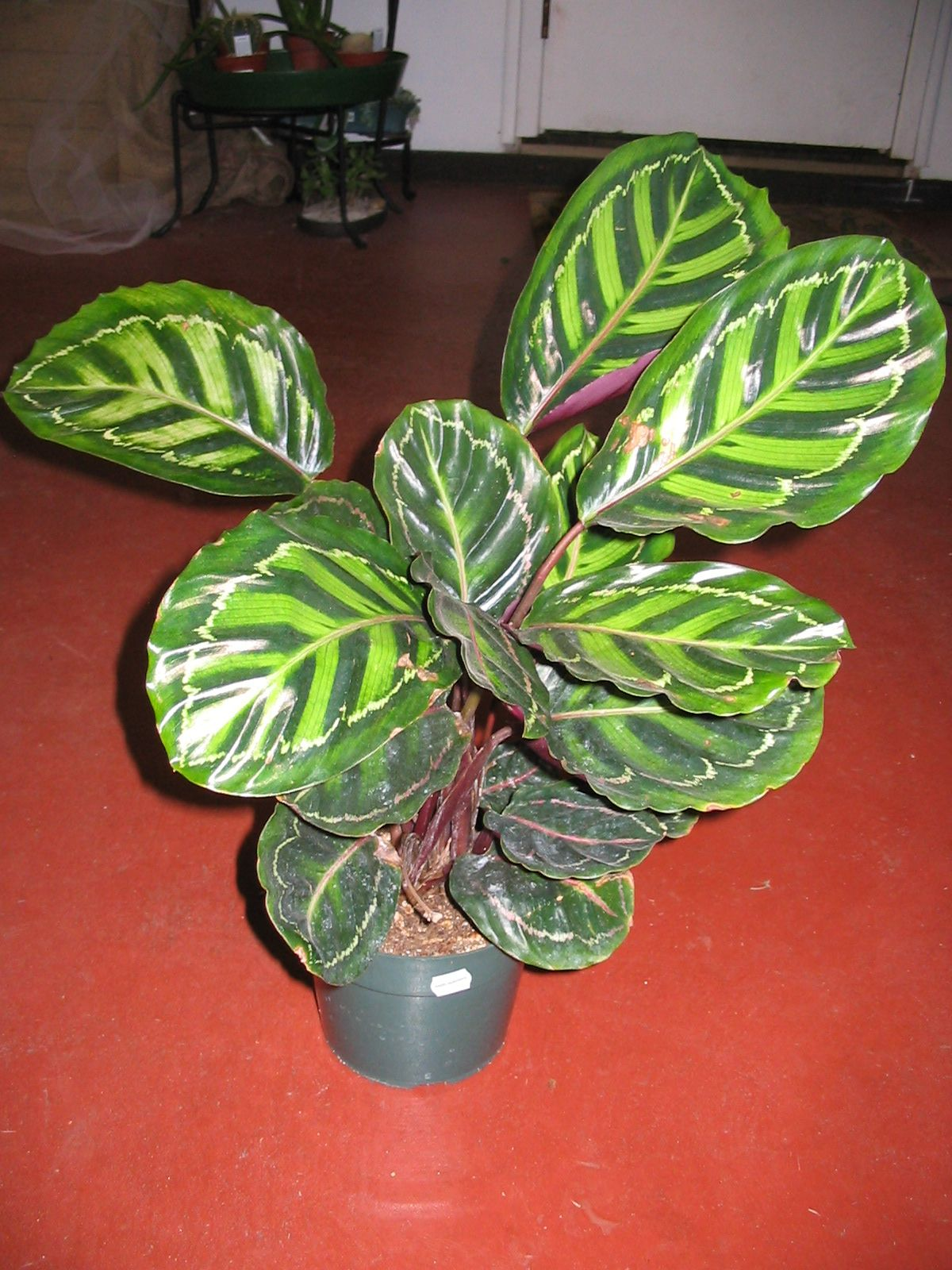 Tropical Indoor Plants | Calathea Prayer Plant Defenbackia Dumb Cane  Dracaena Corn Plant Ficus .
