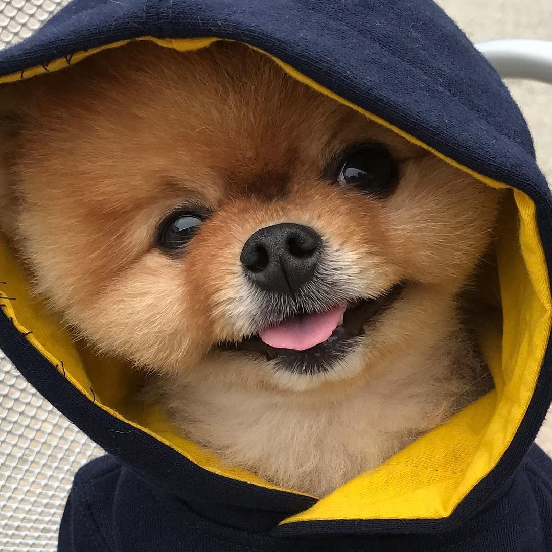 #Jiffpom is the #dog most famous animal in the world with ...