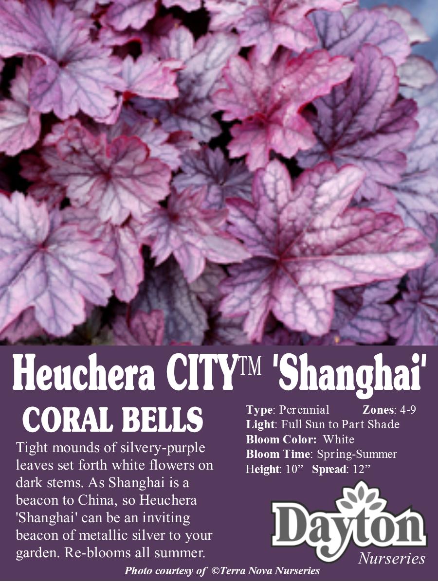 Heuchera city shanghai coral bells tight mounds of silvery heuchera city shanghai coral bells tight mounds of silvery purple mightylinksfo