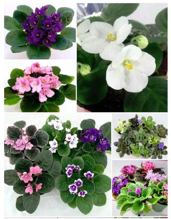 African Violet supplier on Amazon. Has a 4.5 of 5 Star rating.