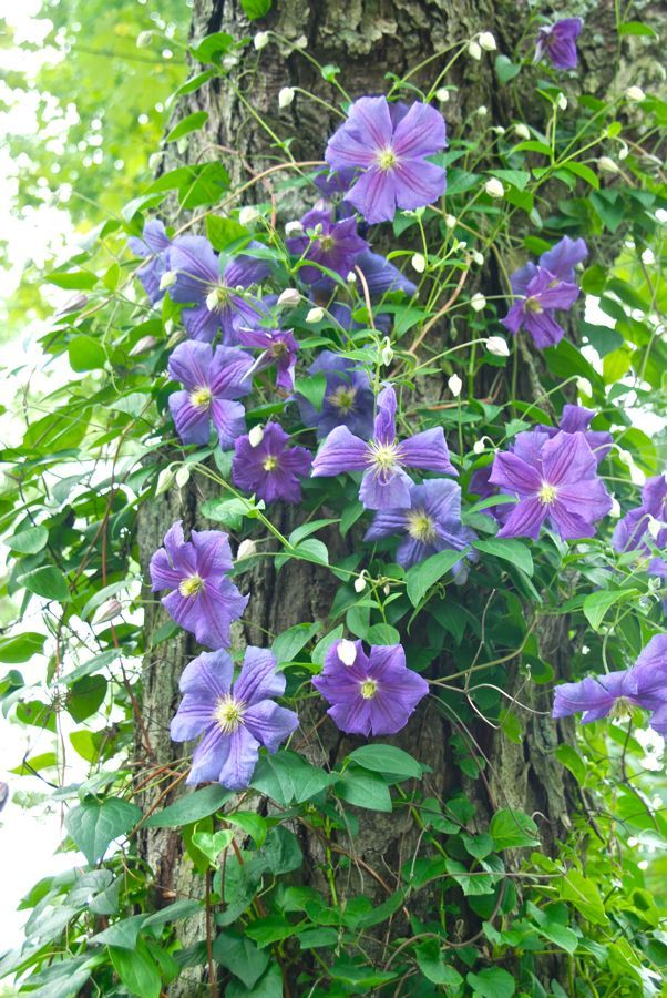 Wife mother gardener how to train a clematis on a tree trunk gardening pinterest tree - Flowers that grow on tree trunks ...