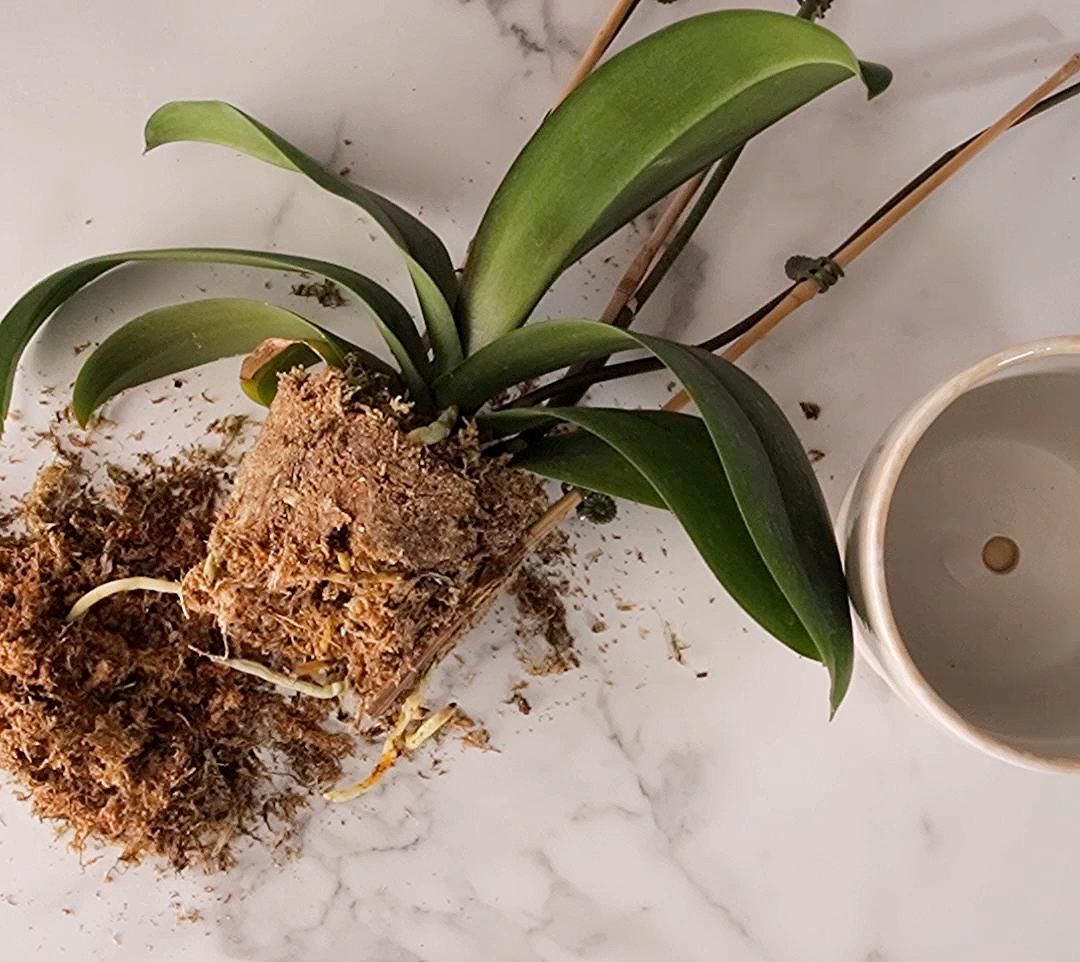 How Do I Repot My Orchid Here S What To Know In 2020 Plants