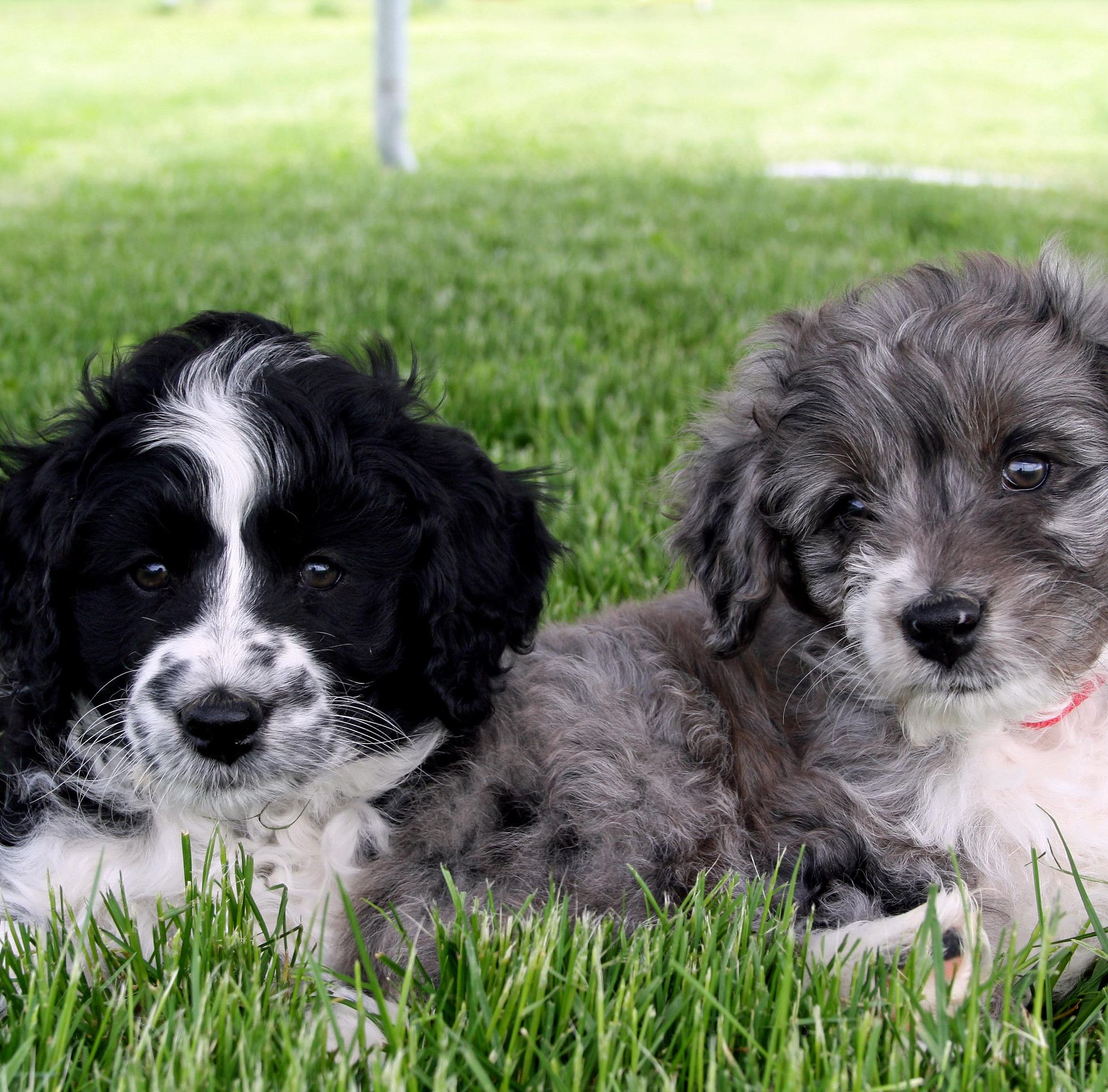 Aussiedoodle Puppies for sale Mountain Gems Aussiedoodle