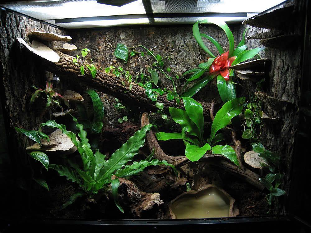 Red Eyed Tree Frog Setup Red Eyed Tree Frog Tree Frog Terrarium Tree Frogs