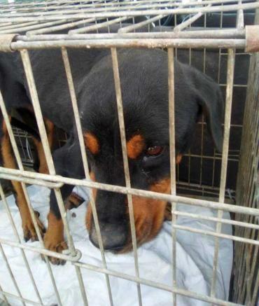 Bea, #Rottweiler, 6-7 Jahre, verträglich