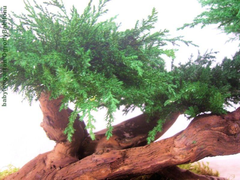 Galeria Zdjec Aukcji Allegro Artificial Plants Bonsai Tree Bonsai