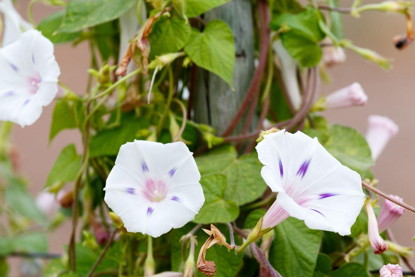 White Morning Glory Flowers Growing White Morning Glory Flowers
