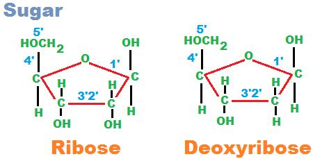 Five Carbon Sugar Rna And Dna