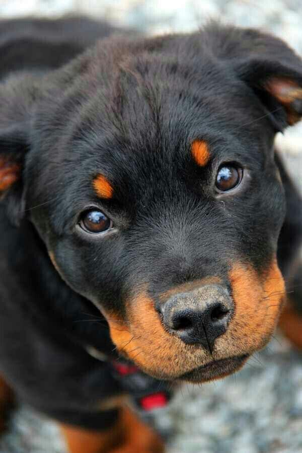 Resultado de imagen para rottweiler cute face
