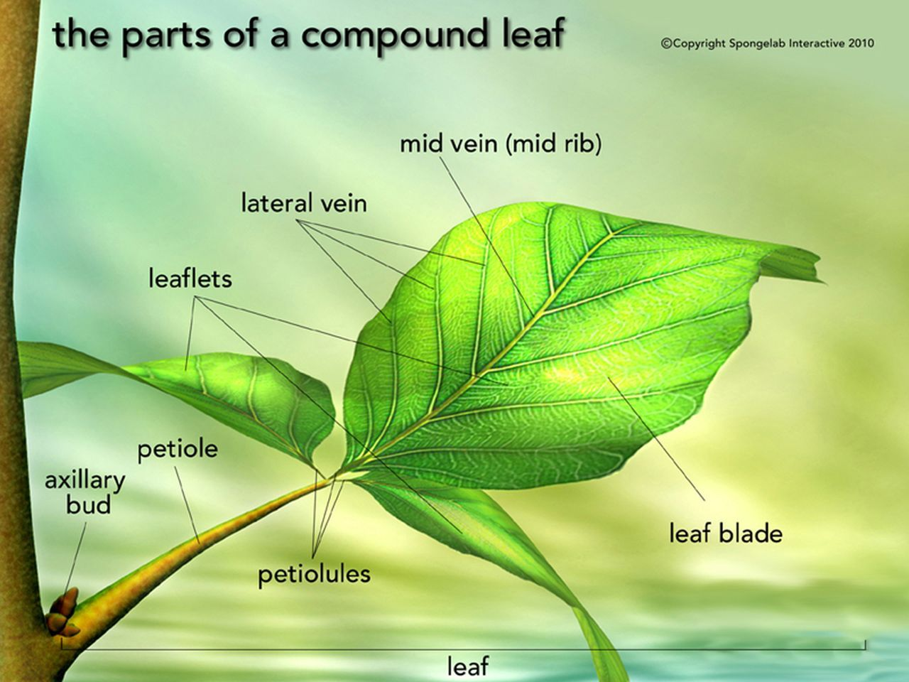 hight resolution of leaf structure labeled