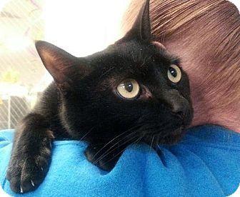 Westampton Nj Domestic Shorthair Meet C 61507 Ruby A Cat For Adoption Http Www Adoptapet Com Pet 11940648 Westampton Cat Adoption Pets Kitten Adoption