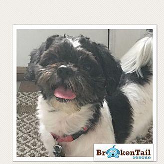 Worcester Ma Shih Tzu Meet Oreo A Dog For Adoption Shih Tzu