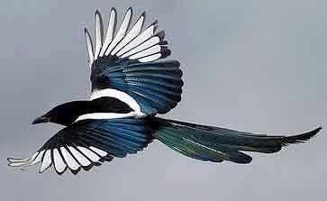 magpie in flight...pica pica