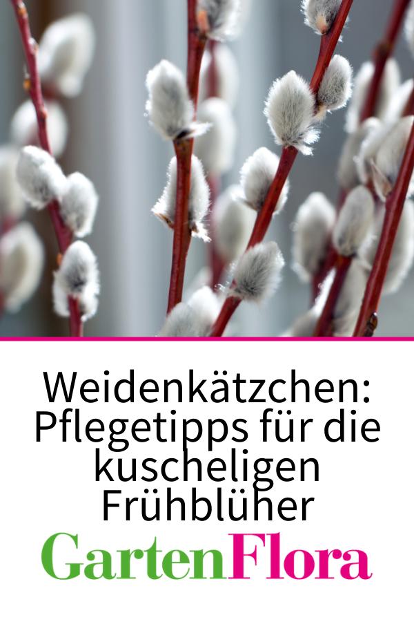 Weidenkatzchen Pflegetipps Fur Die Kuscheligen Fruhbluher In 2020 Weidenkatzchen Fruhlingsgarten Pflanzen