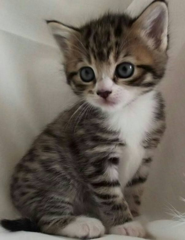 Awww image by Lindsey Bragg Grey tabby kittens, Kitten