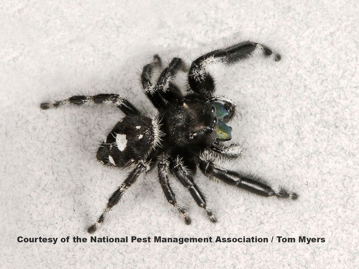 Pin By Dylan Sung On 00 Arthropoda Jumping Spider Bite