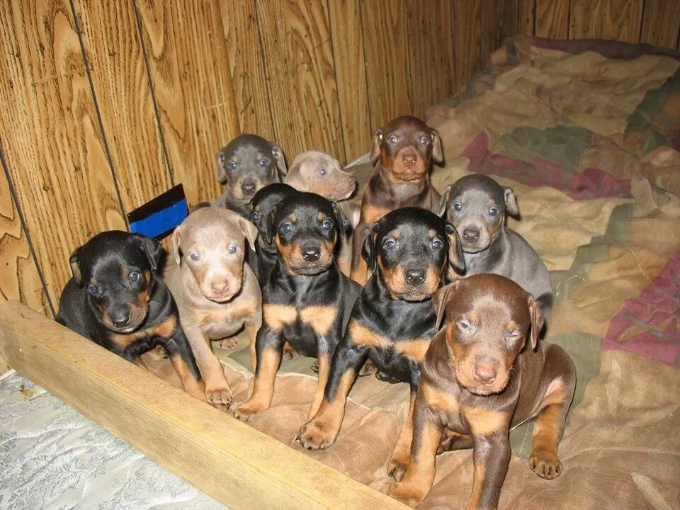 Dobie Puppies Doberman Pinscher Dog Doberman Pinscher Doberman