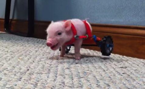 Meet the Most Inspirational Little Pig Ever: Chris P. Bacon