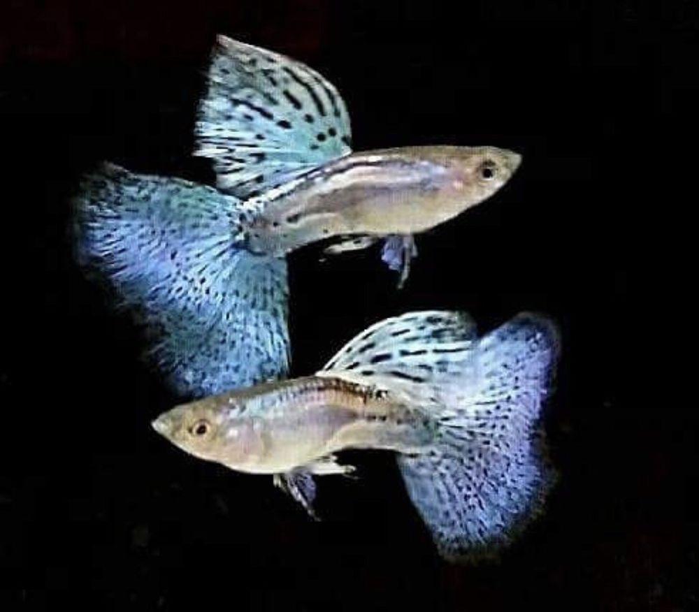 2 Pair Blue Grass Guppy Very Rare Live Fish