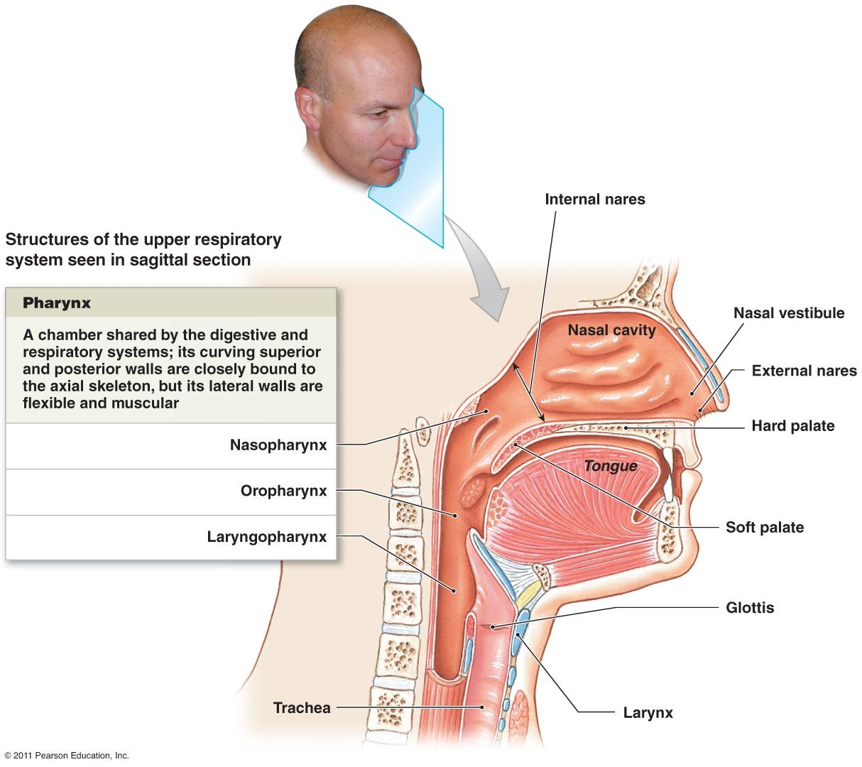Pin By Sam A On Nasal Anatomy Research