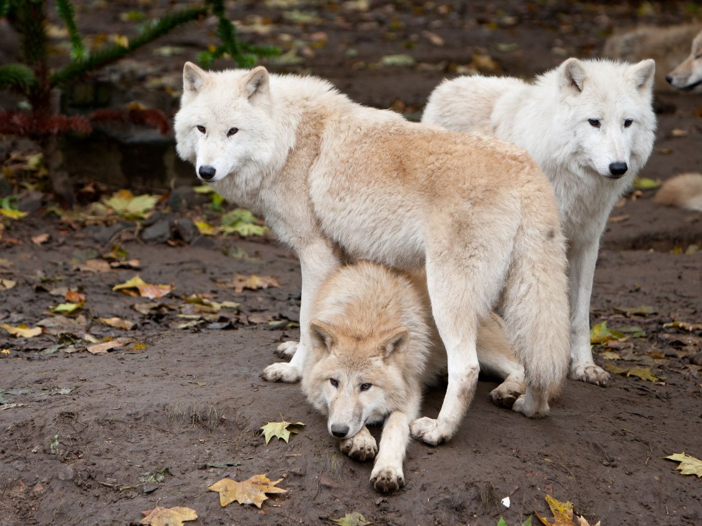 Wolf Family 1400x1050